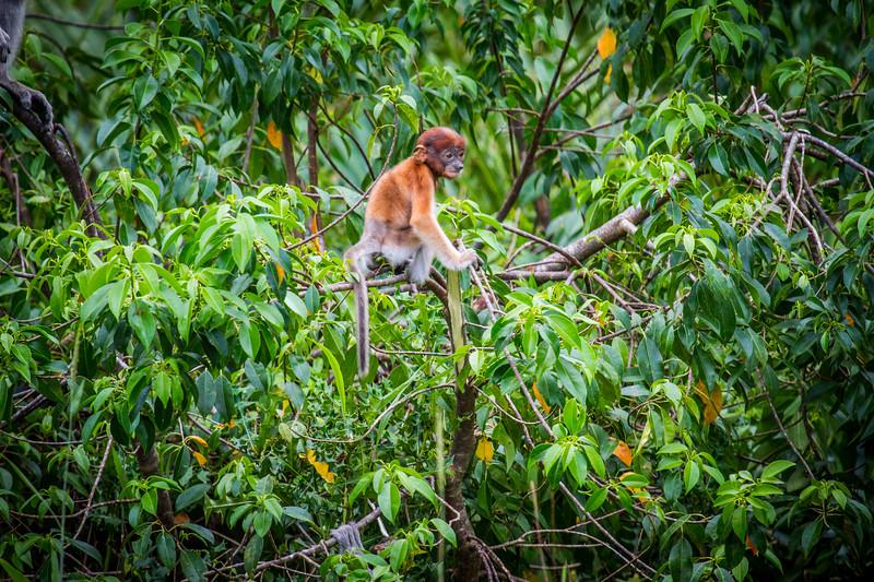 Young Proboscis monkey (Nasalis larvatus) , Kinabatangan River, Sabah, Borneo.