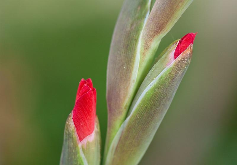 0543 Gladiolus buds.jpg