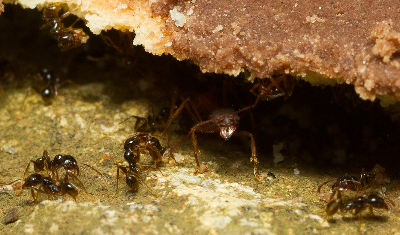 Foraging workers of leafcutter ants (Atta sp.) and big-headed ants (Phediole sp.) fight over a dropped cookie in Costa Rica.