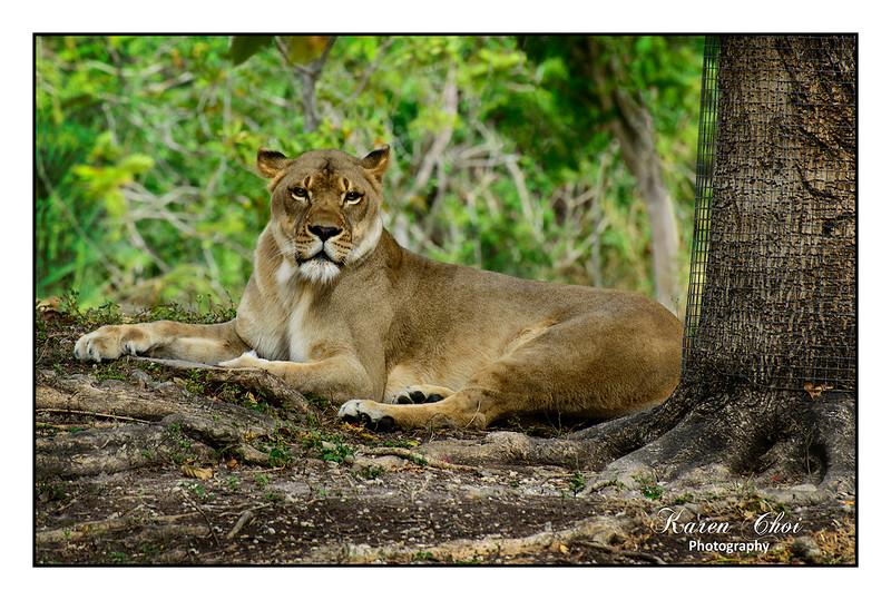 Lioness Straight on sm.jpg