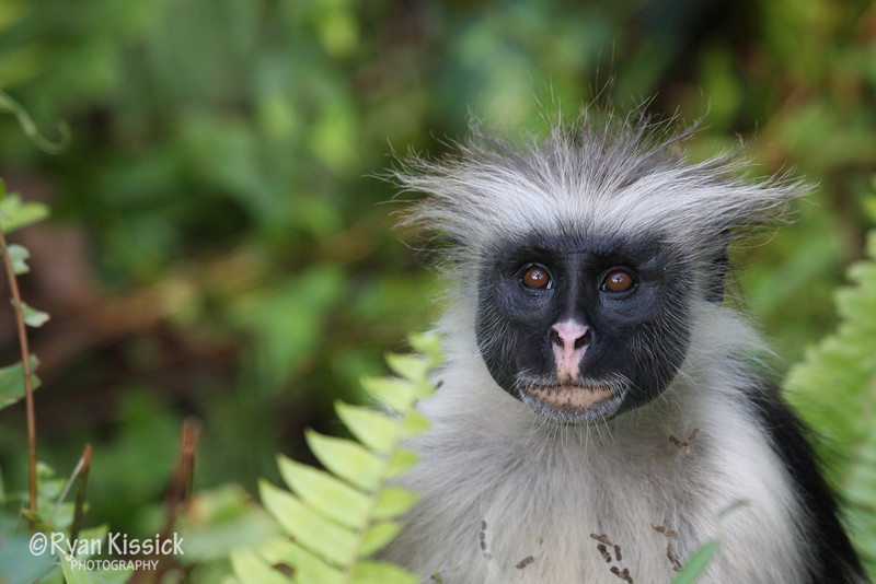 Red colobus monkey staring past the camera