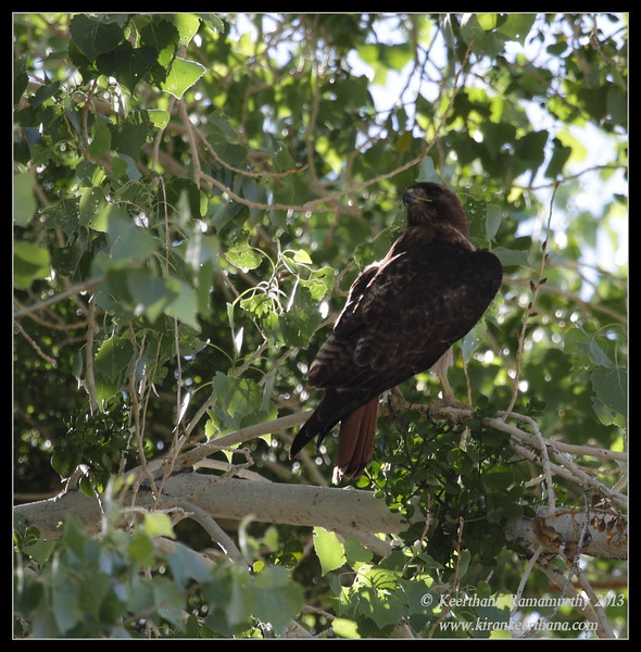 Red-tailed Hawk adult, Covington Park, Morongo Valley, Riverside County, California, May 2013