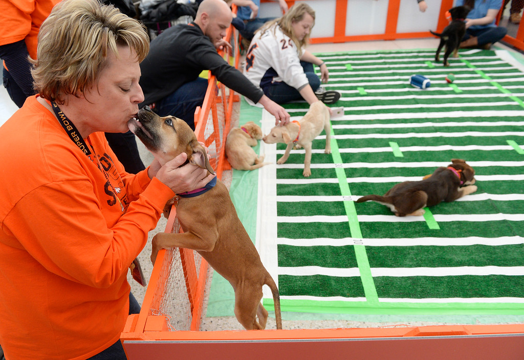 """. Annie Christensen a DIA employee in the noise office gets a kiss from \""""May\"""" as the Denver International Airport hosted the DEN Puppy Bowl in the Jeppesen Terminal  on Friday, February 05, 2016. They invited puppies from the Denver Dumb Friends League to come down and frolic on a miniature football field set up in the center of the main terminal. The puppies drew employees, Broncos fans, and  travelers out to see the cuteness.  (Photo by Cyrus McCrimmon/ The Denver Post)"""