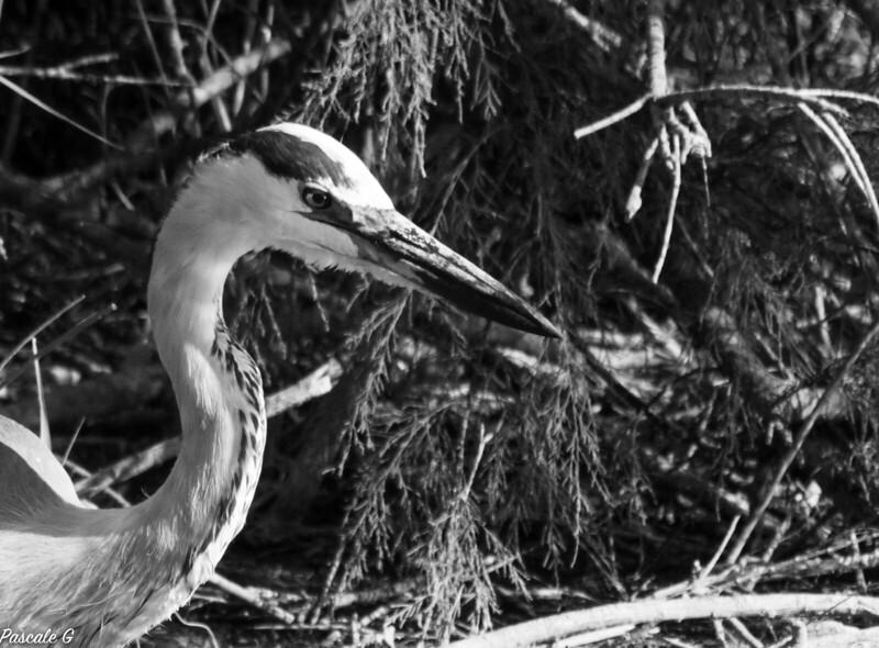Héron cendré ; Gray heron