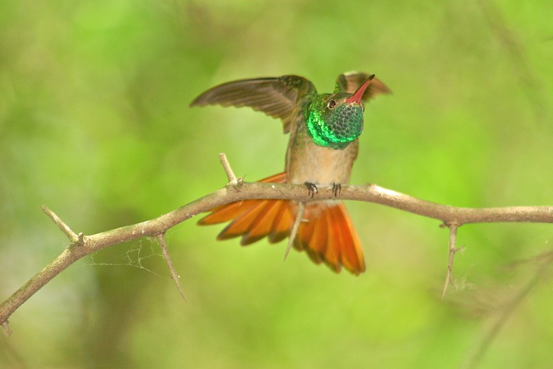 Feeling threatened by another male at a feeder, this Buff-bellied Hummingbird goes into threat displays to express his anger [April; Frontera Audubon Sanctuary, Weslaco, Texas]Rio Grande Valley, Lower Rio Grande Valley, Texas bird