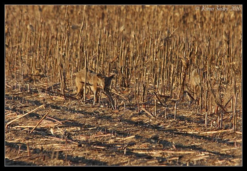 Coyote playing with the cornstalk, Bosque Del Apache, Socorro, New Mexico, November 2010