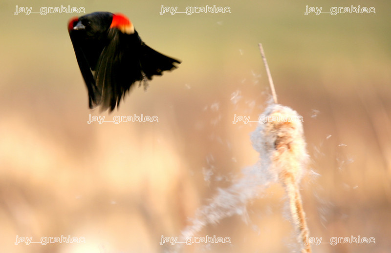 A male Red-winged blackbird takes flight off of a cattail on a pond near Lake Paradise in Mattoon, Illinois on Monday, March 16, 2009. (Jay Grabiec)