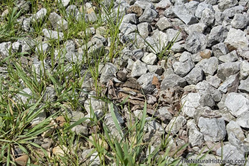 Killdeer-fledgling-justoutofnest-hiding-amongrocks4.jpg