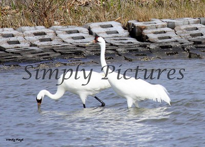 Mom and Pop whooping cranes