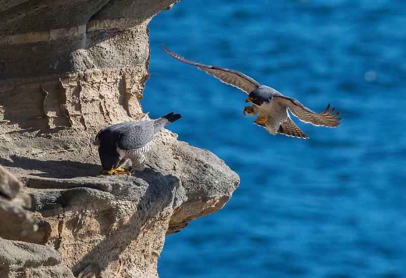 Falcons mating1.jpg