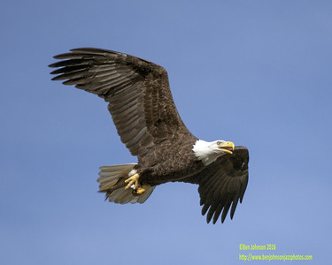 Conowingo Dam Eagles November 8 2016