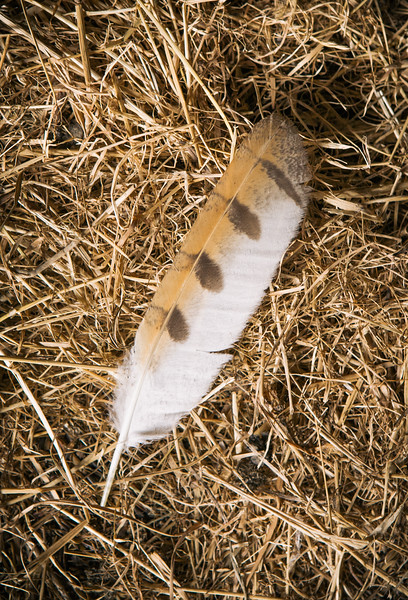 Barn owl wing feather