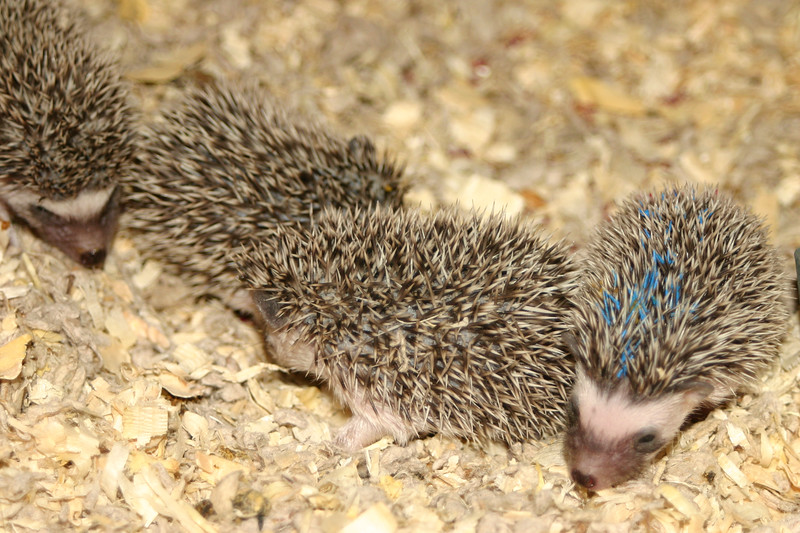 Litter - BB and Buttercup (04/25/2004)  23-24 days old.  Filename reference: 20040519-012058-HAH-Hedgehog_Babies