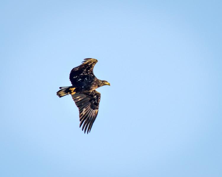 -_Bald Eagle 2014-12-18-17.jpg