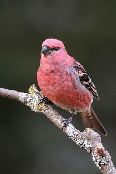 Grosbeak - Pine - male - Dunning Lake - Itasca County, MN
