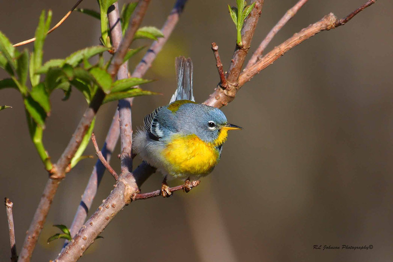 Northern Parula - Maggie Valley, NC - May 2014