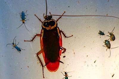 Blattodea - Cockroaches, Termites