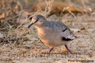 Picui Ground-Dove, Pantanal, Brazil
