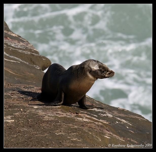 California Sea lion, La Jolla Cove, San Diego County, California, February 2009