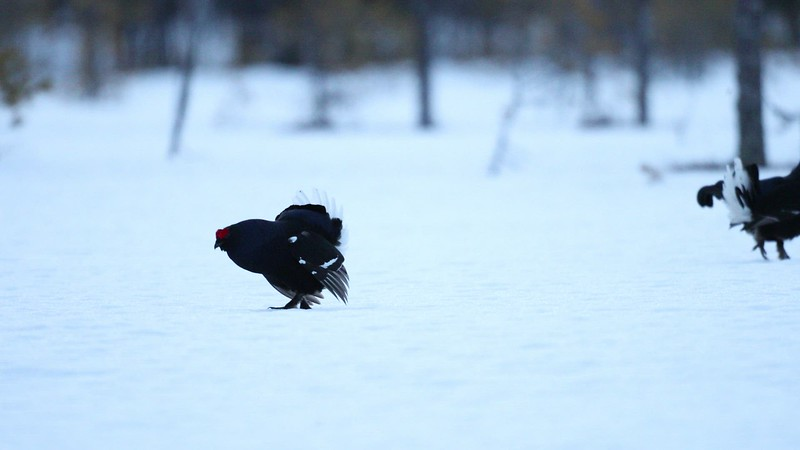 Capercaillie in Winter