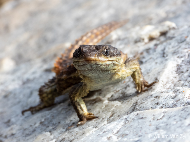 20190504 Cape Girdled Lizard (Cordylus cordylus) from Grotto Bay, Western Cape