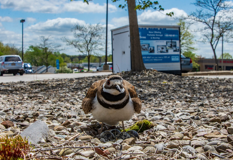 Killdeer-lowes-standingovernest-5-5b.jpg