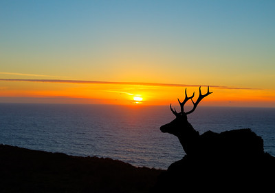 Tule Elk  at Sunset - Point Reyes National Seashore