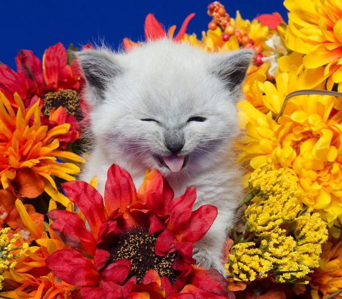 Cute kitten making funny face