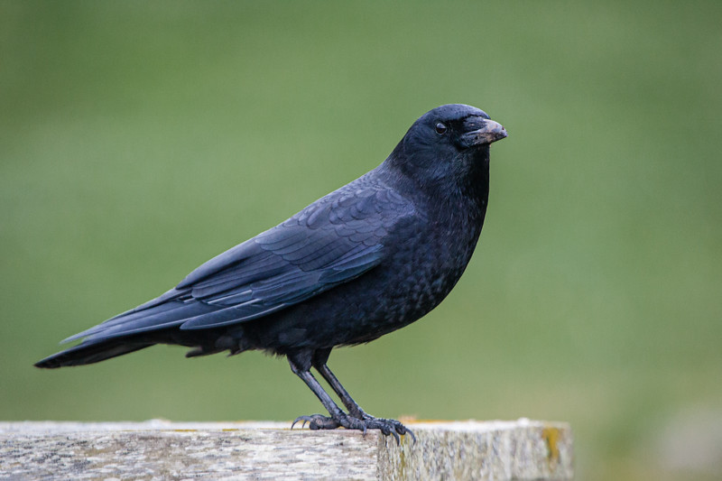 Crow at Fort Casey.jpg