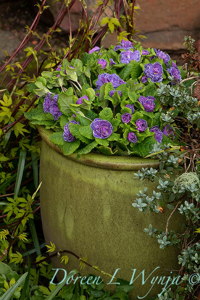 Primula vulgaris 'Kerbelpicotee' Belarina Amethyst Ice_0224.jpg