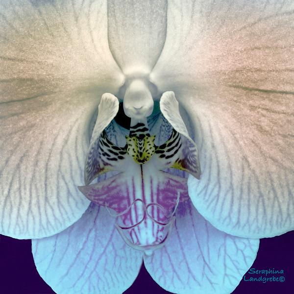 DSC_4248ANGEL Orchid20X20Pr.jpg