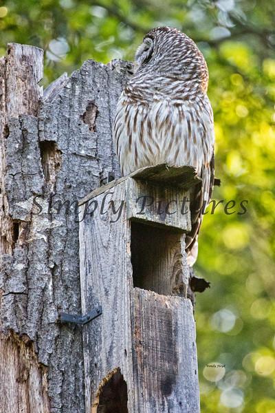 Owl  (35)
