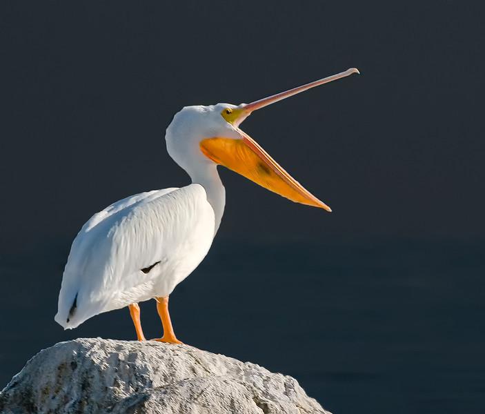 Pelicans-26.jpg