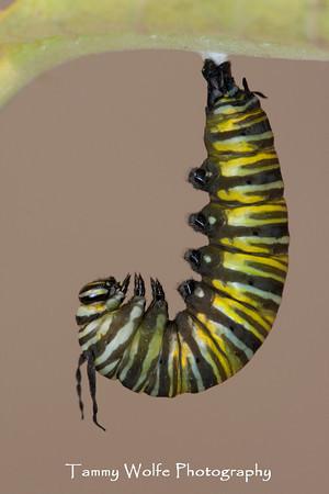Butterfly, Monarch Transformation