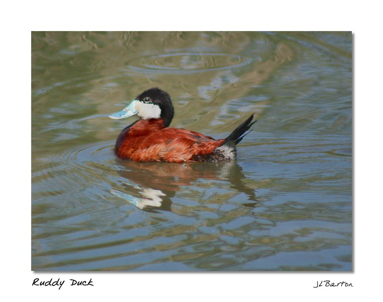 Ruddy Duck Oxyura jamaicensis Originally from North America, now spreading throughout Europe (from 7 original pairs imported into the UK in 1948)