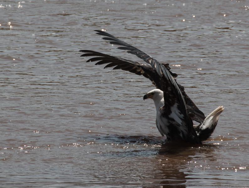 Fish Eagel Wings up-2.jpg