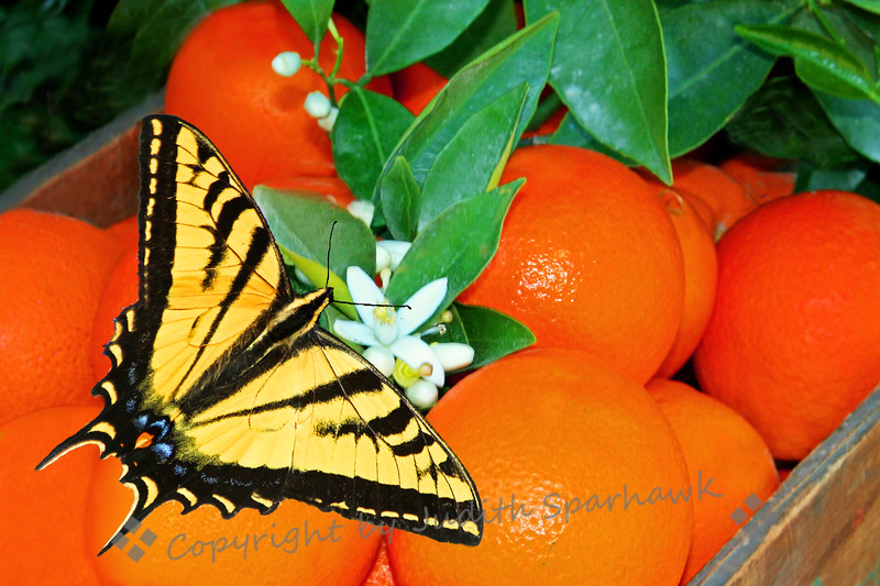 The Lure of Orange Blossoms ~ April in Redlands is redolent witht the scent of orange blossoms in the air.  I look forward to this fragrance every year, keep the windows down in my car as I drive through the orange groves.