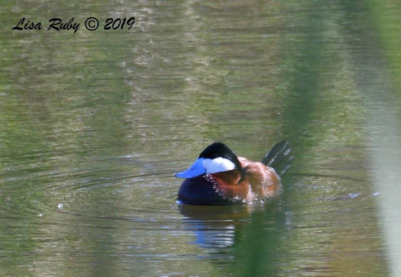Ruddy Duck - 5/24/2019 - Poway Pond