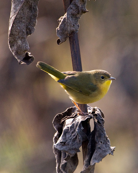 Common Yellowthroat (f) in Fall