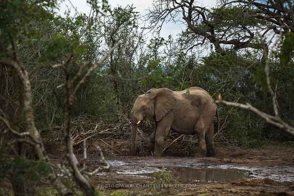 WILDLIFE | Elephant Blues