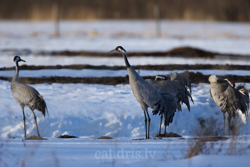 Common Cranes gather in snow covered field in early spring