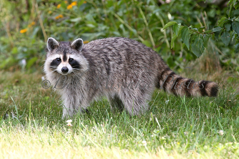 Raccoon Mother_4259.jpg