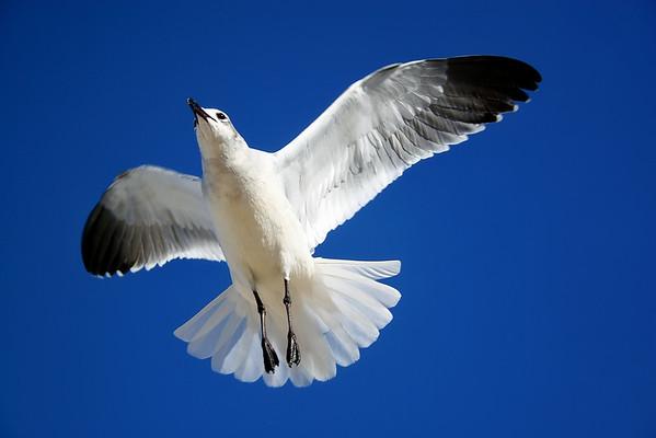 Seagulls in Florida - 11/2005