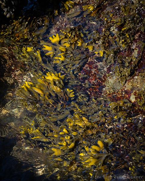 Kelp, San Juan Island