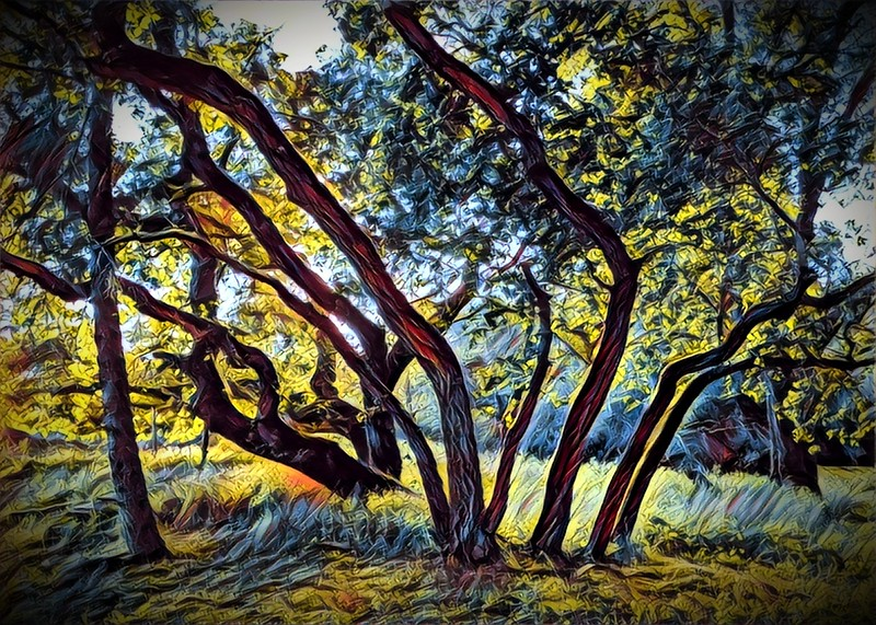 Driveway oaks