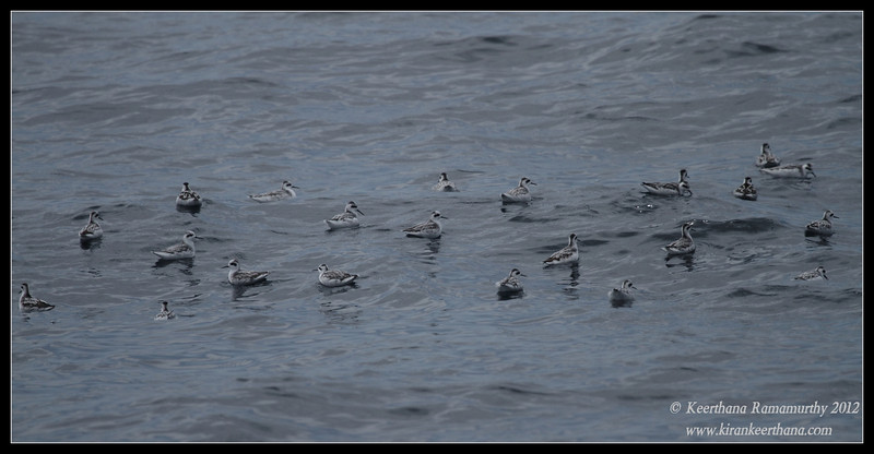 Red-necked Phalaropes, Whale Watching trip, San Diego County, California, September 2012