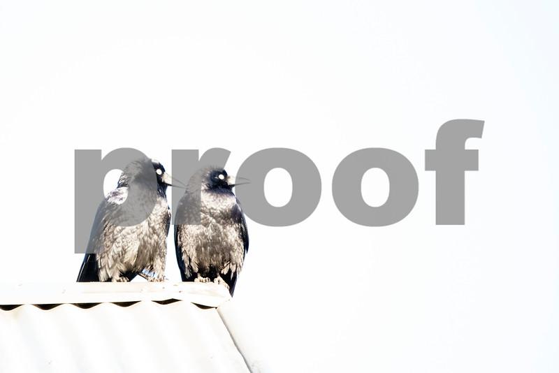 crows on roof 3.jpg