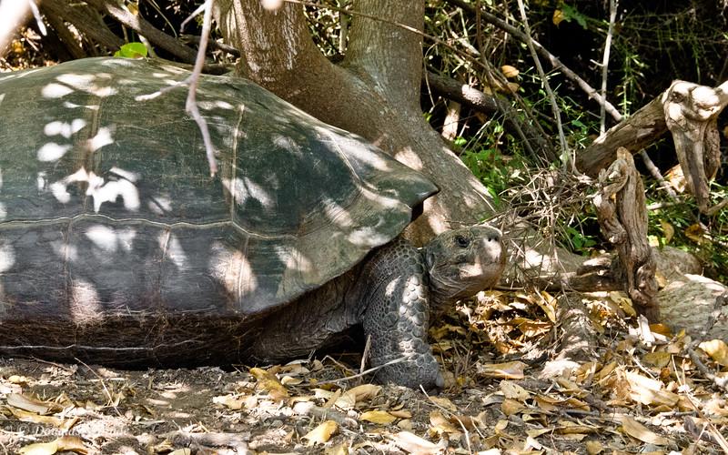 Giant Tortoise at Urvina Bay, Isabela