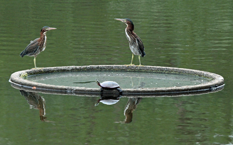 Green herons and turtle