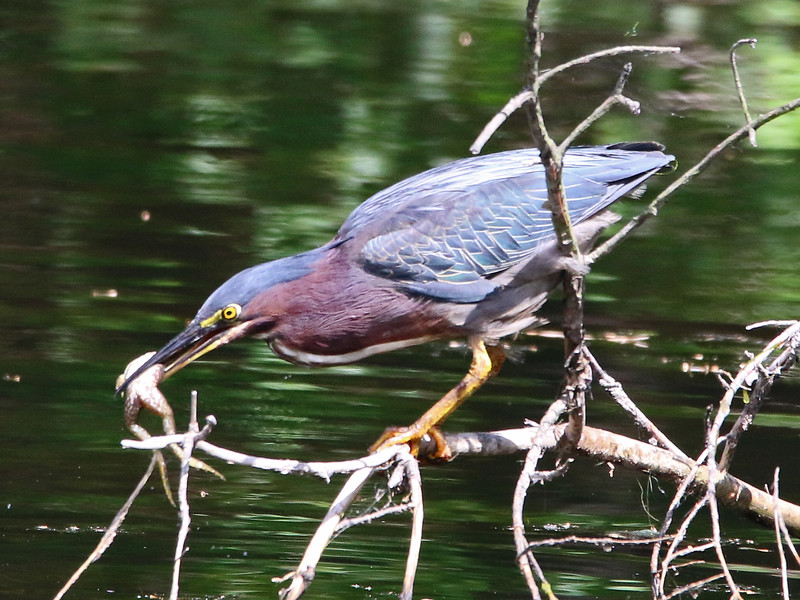 green heron with frog 10.jpg